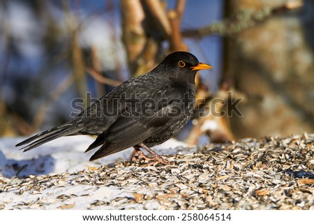Common Blackbird eating sunflower seeds in the winter. Beautiful black bird is 