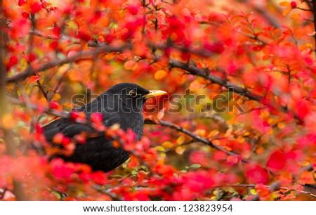 Common Blackbird (Turdus merula) - stock photo