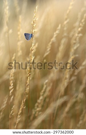 Common Blue Butterfly - stock photo