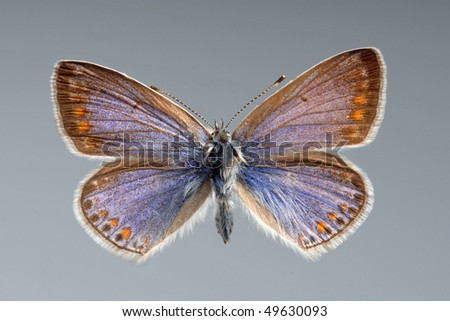 Common Blue butterfly. Polyomathus icarus, female - stock photo