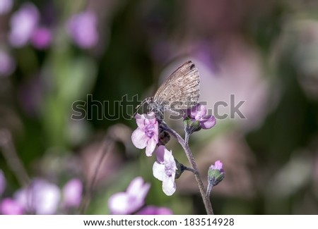 Common Blue butterfly - polyommatus icarus collecting pollen from pink flowers - stock photo