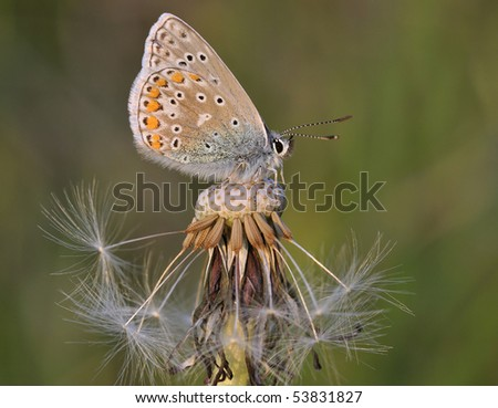 Common Blue Butterfly - Polyommatus icarus On Dandelion seed head - stock photo