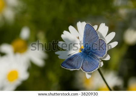 Common Blue Butterfly upperside of male - stock photo