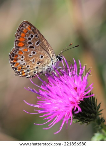 Common Blue (Polyommatus icarus) sitting on violet flower  - stock photo