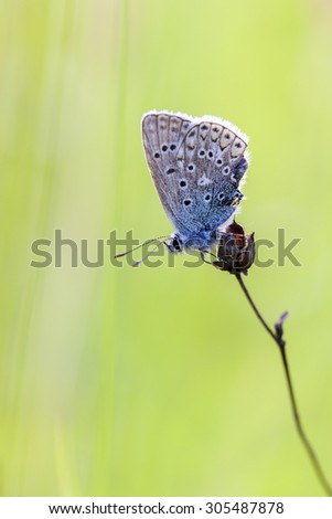 Common Blue - resting position - stock photo