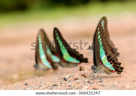 Common Bluebottle Butterfly eating minerals