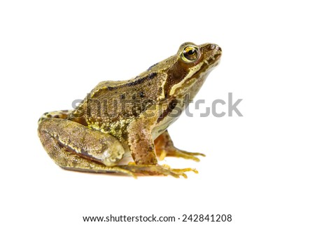 Common Brown frog (rana temporaria) looking up at camera on white background with clipping path - stock photo