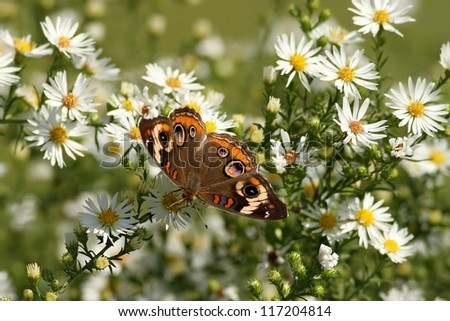 Common Buckeye Butterfly enjoying some nectar from a plant in Missouri in late October. - stock photo