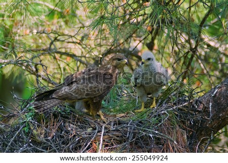 Common Buzzard adult and chick in nest on a pine tree - stock photo