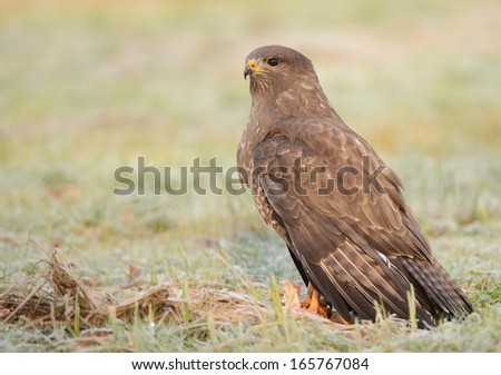 Common buzzard - Buteo buteo - stock photo