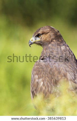 Common Buzzard / Buteo buteo Habitat and hawk portrait on green nature background