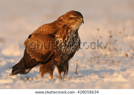 Common Buzzard - Buteo buteo sitting on the snow-covered lanscape.