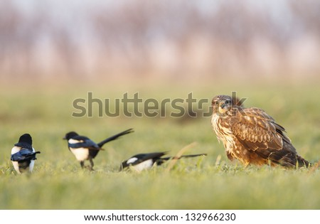 Common buzzard front of green grass alone on sunrise light - stock photo