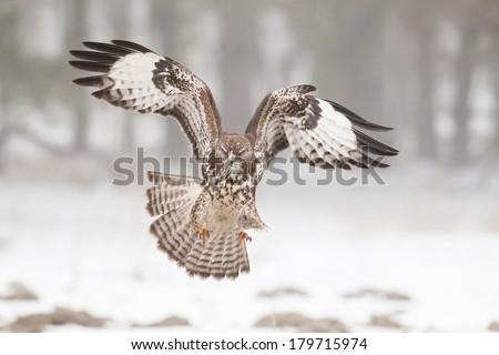 Common buzzard in flight - stock photo
