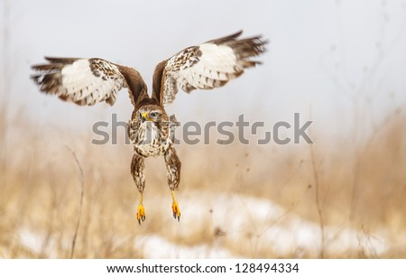Common buzzard in flight front of nice background - stock photo