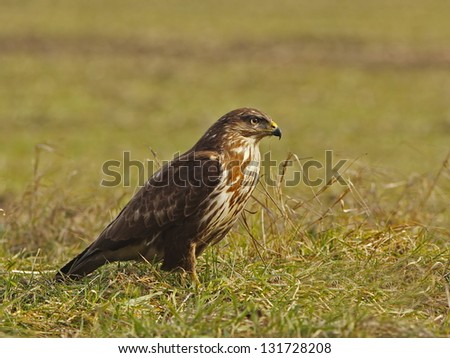 Common Buzzard in grass, watch