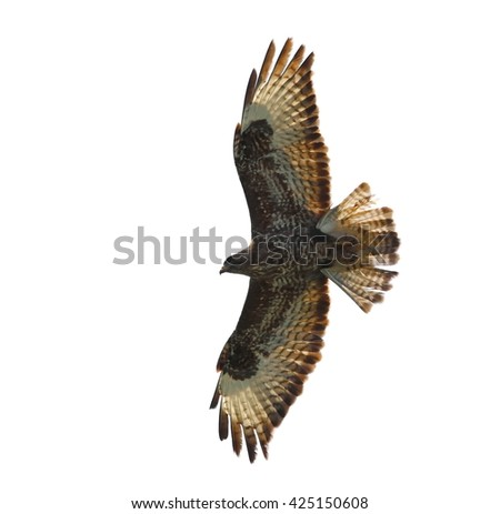 Common Buzzard isolated on white background, Buteo buteo