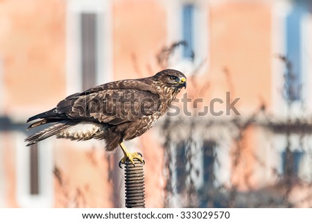 Common buzzard searching for prey,  next to residential area - stock photo