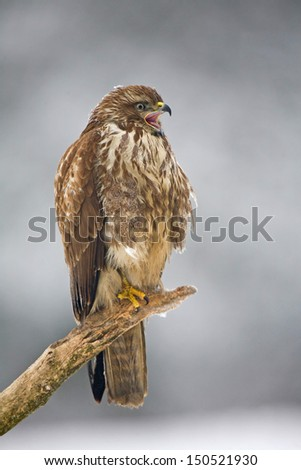 Common buzzard sitting on a branch in winter with open beak