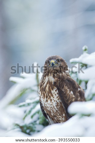 Common buzzard sitting on the tree covered by snow, looking into the lens,with clean background, Czech Republic, Europe