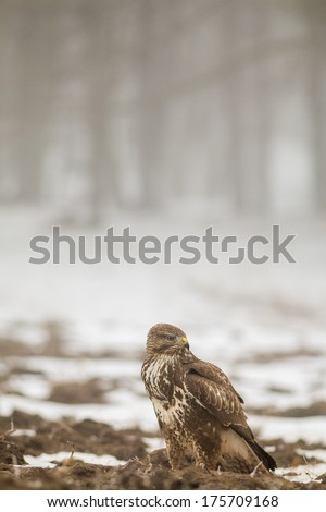 Common Buzzard standing alone on nice forest background in winter - stock photo