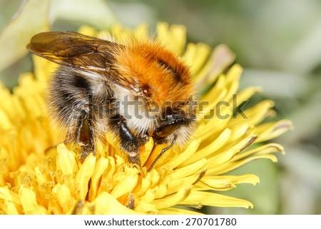 common carder bee (Bombus pascuorum) on the dandelion - stock photo