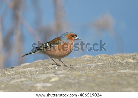 Common chaffinch.Close up of male against blue background. - stock photo