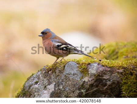 Common chaffinch (Fringilla coelebs).  male.