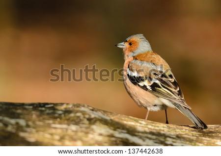 Common Chaffinch (Fringilla coelebs) on a tree stump. - stock photo