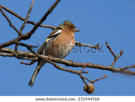 Common Chaffinch on branch of oak tree - stock photo