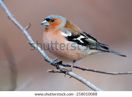 Common chaffinch on the branch - stock photo