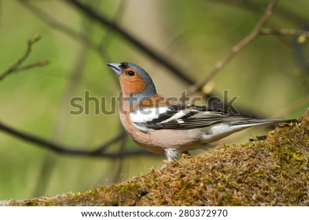 Common Chaffinch on the stump - stock photo