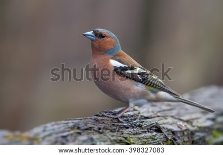 Common chaffinch posing on dead wood