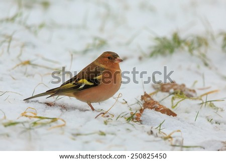 Common chaffinch sitting in the snow - stock photo