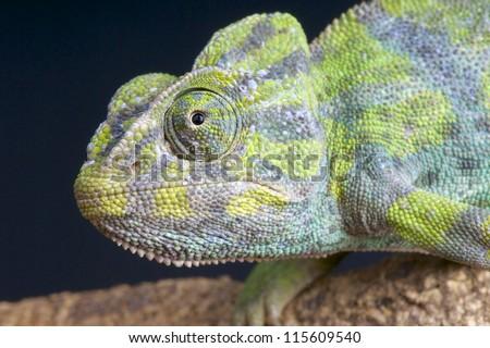 Common Chameleon / Chamaeleo chamaeleon - stock photo
