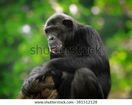 Common Chimpanzee - stock photo