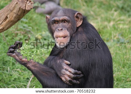 Common Chimpanzee - Pan troglodytes - stock photo