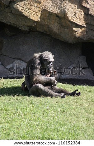 Common Chimpanzee - Pan troglodytes Cuddles - stock photo