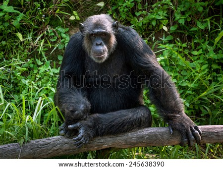 Common Chimpanzee sitting next in the Zoo