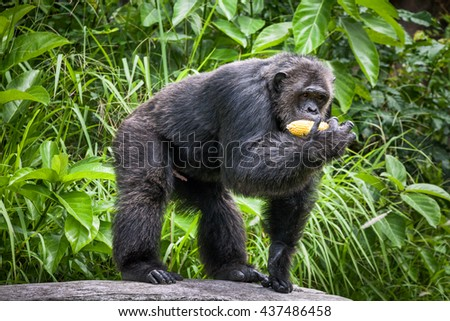 Common Chimpanzee stand eat corn .