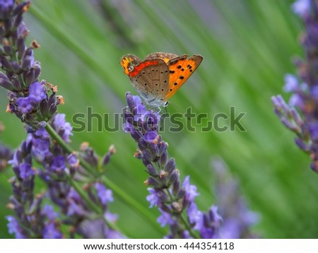 Common Copper on Lavender Flower - stock photo