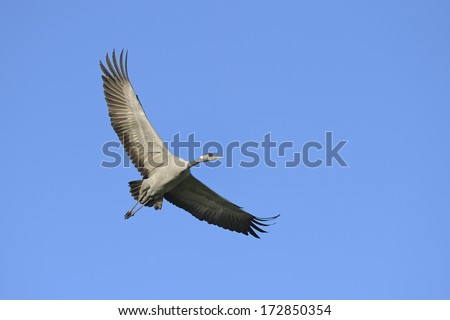 Common crane flying in blue sky