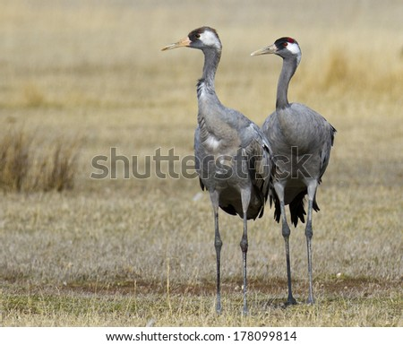 Common Crane  Grus grus in Gallocanta, Spain. - stock photo