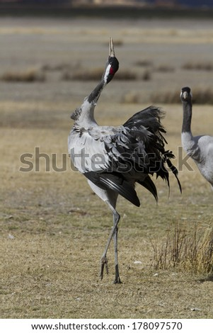 Common Crane, Grus grus in Gallocanta. Zaragoza. Spain. - stock photo