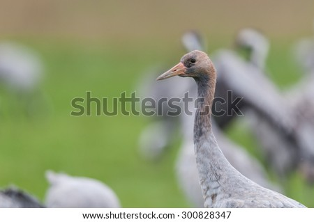 Common crane in Germany