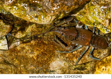 Common Crayfish submerged in shallow water. - stock photo