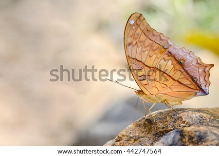 Common Cruiser butterfly sucking mineral on rock
