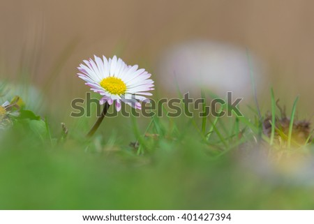 Common daisy (Bellis perennis) on the meadow in spring - stock photo