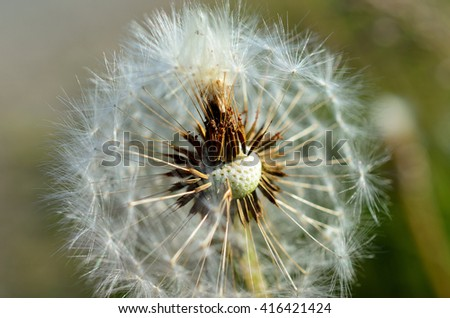 common dandelion flower after blooming spreading seeds with the wind in summer macro photo