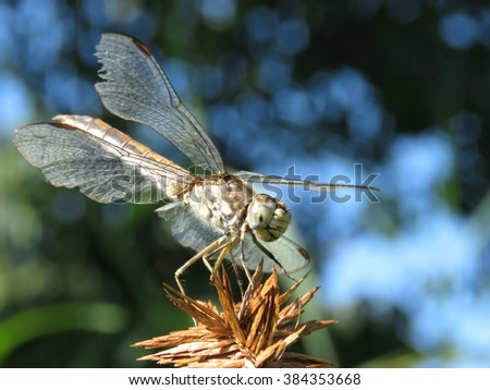 Common darter. - stock photo